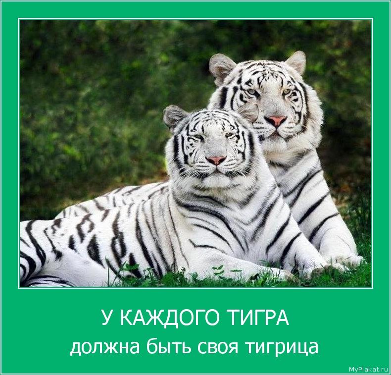 У КАЖДОГО ТИГРА должна быть своя тигрица