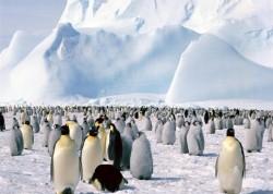 В АНТАРКТИКЕ НАЙДЕНА НЕФТЬ - кровавому режиму пингвинов осталось недолго