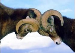 СПОР РОЖДАЕТ НЕ ИСТИНУ - а двух баранов