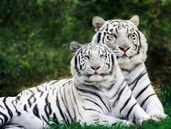 У КАЖДОГО ТИГРА - должна быть своя тигрица